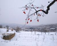 山西运城暴雪中摄影师拍下的7张红柿挂枝头美图