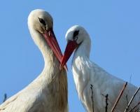 妻子翅膀受伤,雄鸟每年飞跃25000里来看她